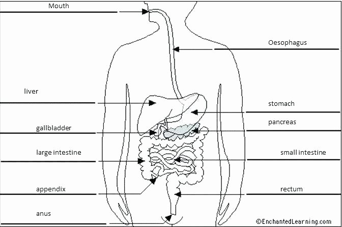 Circulatory System Blank Diagram Free Printable Digestive System Worksheets