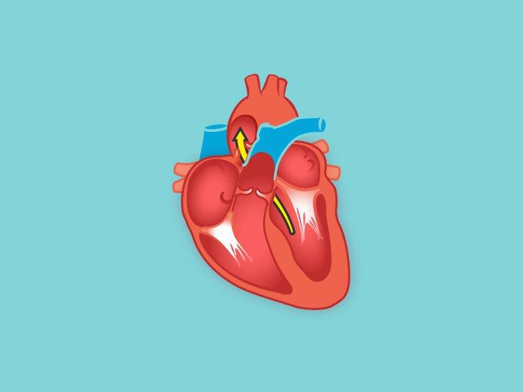 Circulatory System Blank Diagram Inferior Vena Cava Function Anatomy & Definition