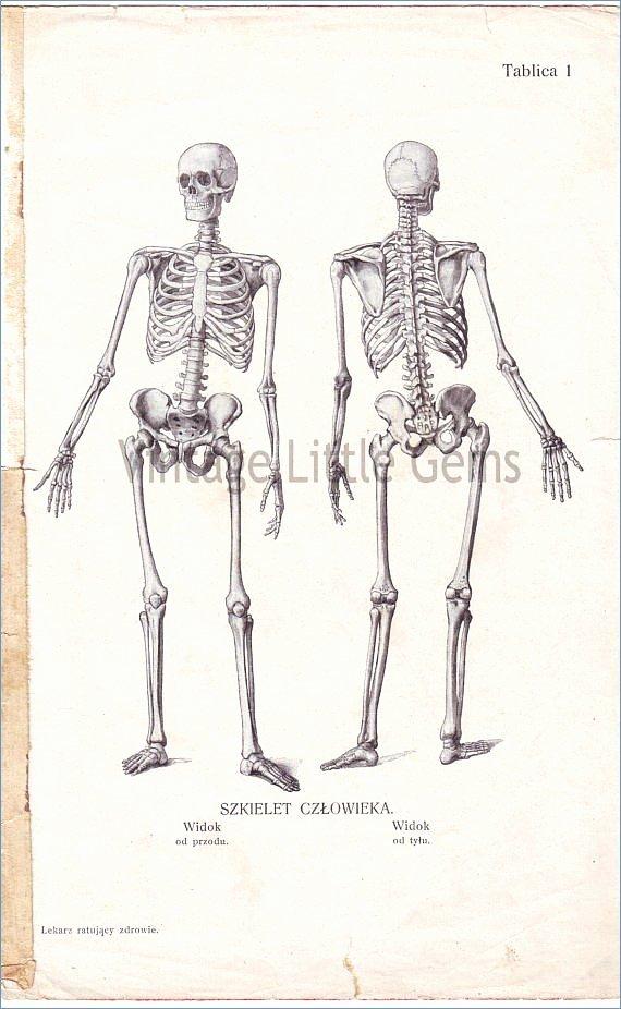 muscular system sketch 36