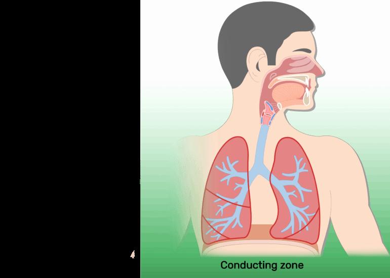 Circulatory System Blank Diagram Respiratory System Anatomy Major Zones & Divisions