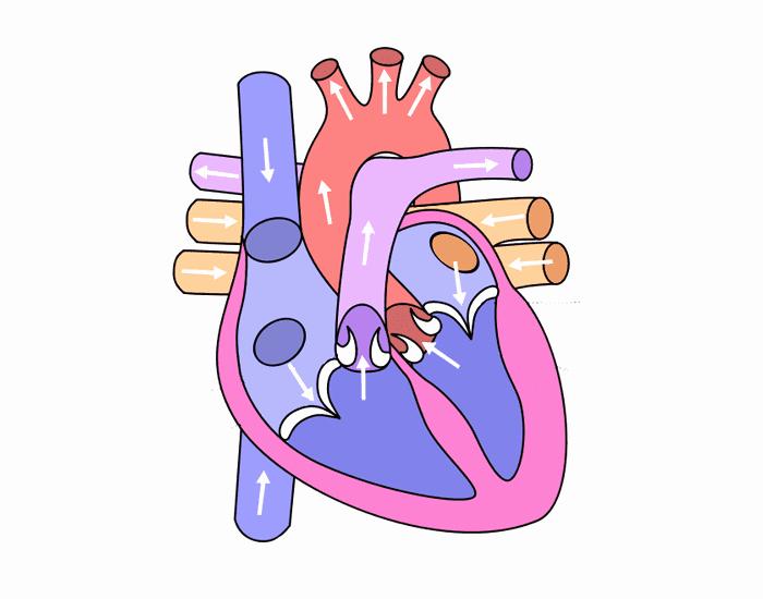 Circulatory System Blank Diagram the Heart Quiz Purposegames