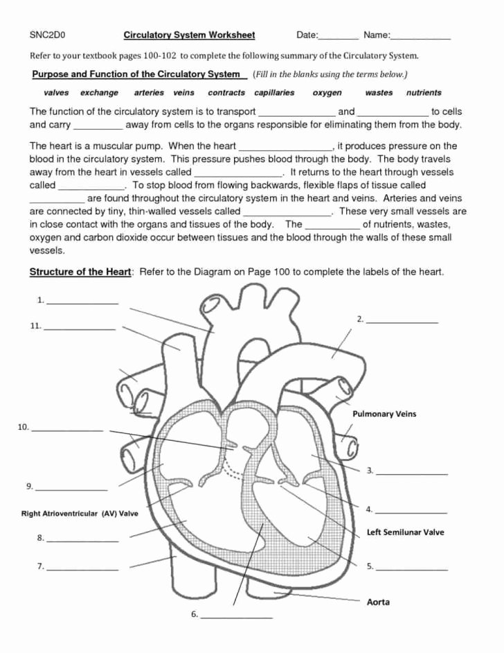 Circulatory System Blank Diagram Worksheet Ideas Human Heart Diagram Black and White