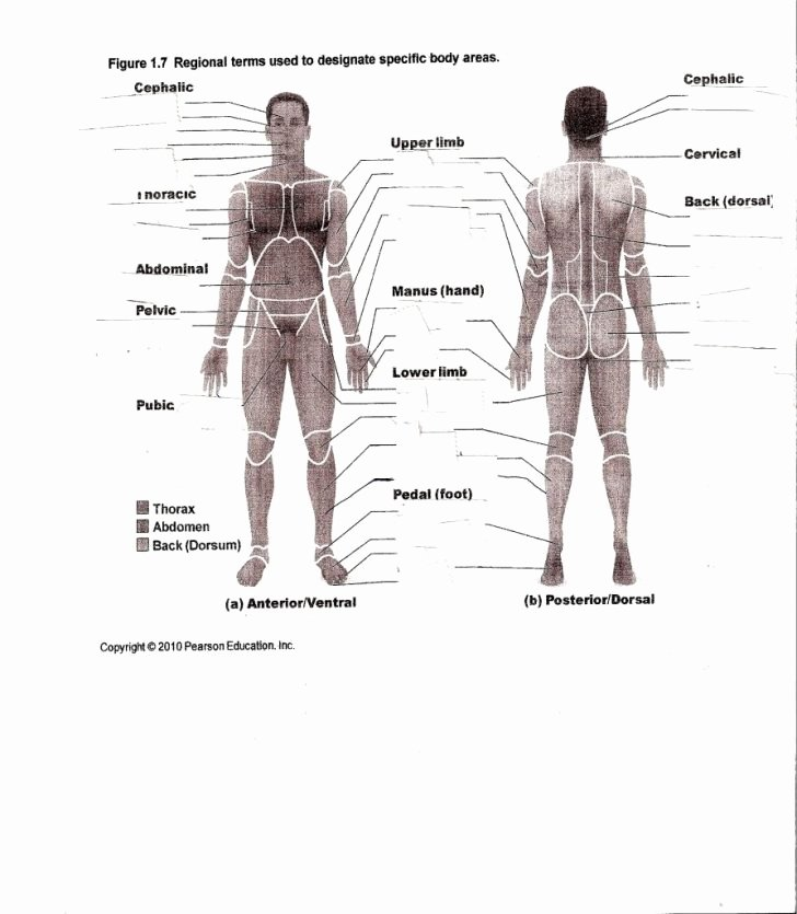 College Anatomy Worksheets Worksheet Ideas Human Anatomy Worksheets Picture