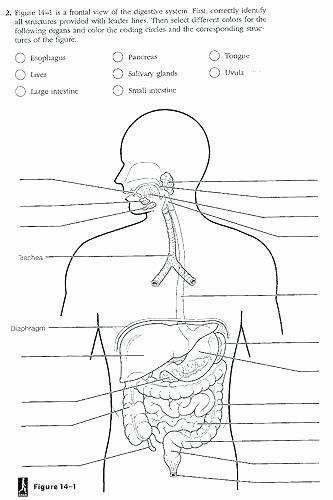 Digestive System Coloring Sheet Inspirational Digestive System Worksheets 7th Grade