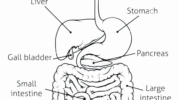 Digestive System Coloring Sheet New Collection Animal Digestive System Coloring Pages