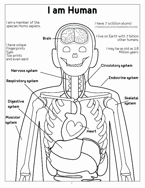 Digestive System Coloring Sheets Beautiful Respiratory System Coloring Page – Sarcaceramics