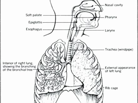 Digestive System Coloring Sheets Elegant Respiratory System Coloring Page – 2oclock