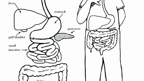 Digestive System Coloring Sheets Fresh Education for Kids Digestive System Worksheet 3rd Grade