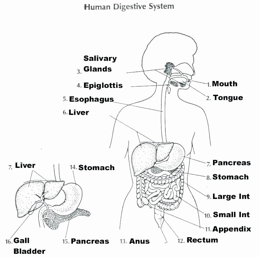 Digestive System Worksheets Middle School Body Systems Worksheets Answers
