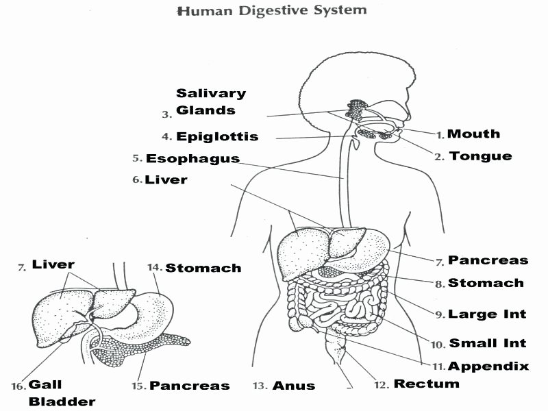 Digestive System Worksheets Middle School Digestive System Worksheets 7th Grade