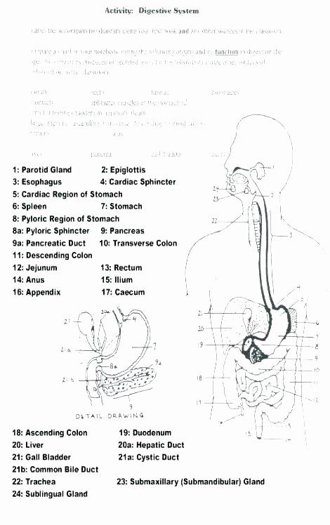 Digestive System Worksheets Middle School Grade Science Worksheets Printable for Free Digestive System