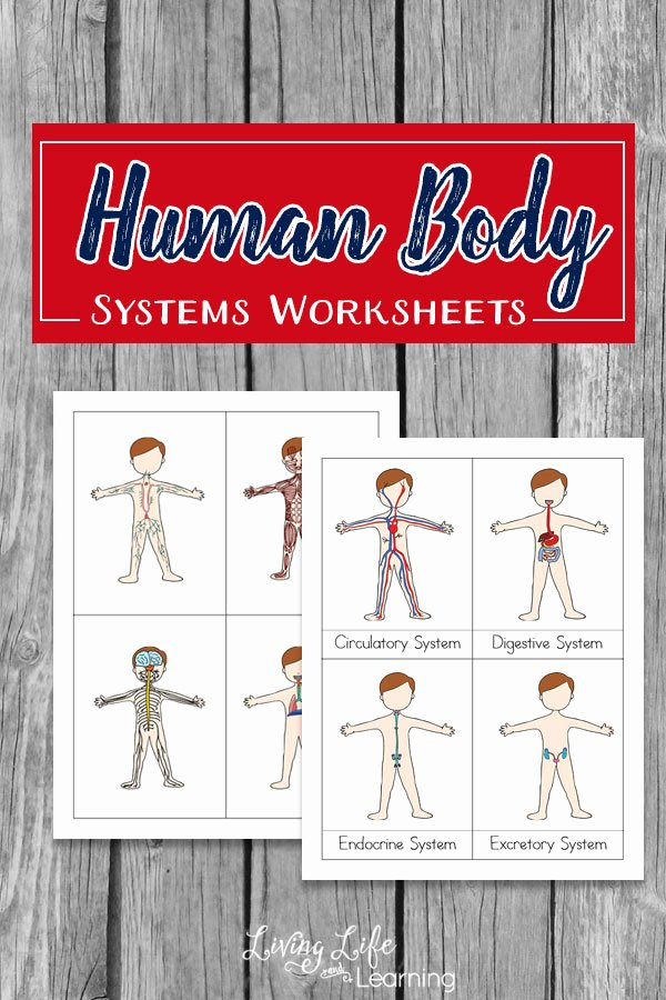 Free Human Body Systems Worksheets Free Preschool Worksheets Human Body
