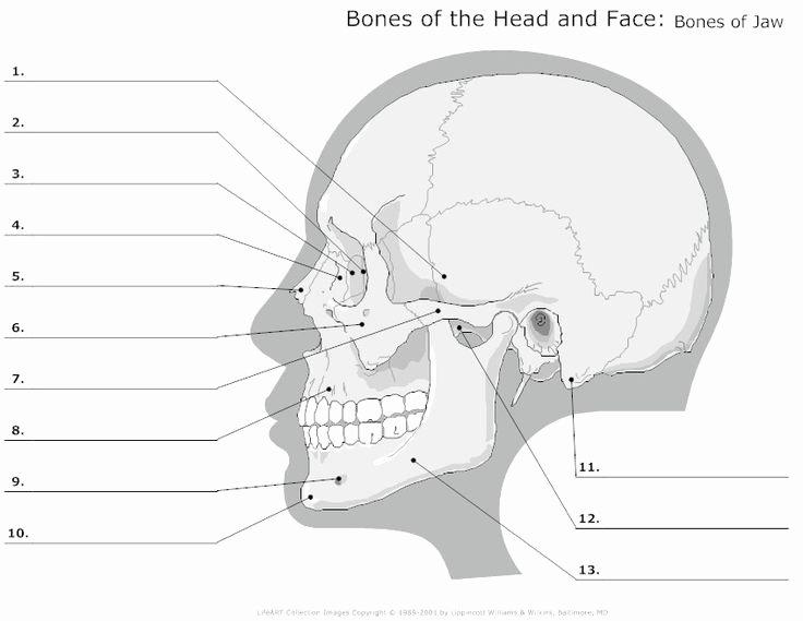Free Printable Anatomy Worksheets Human Skull Labeled Diagram New Blank Skull Diagram – Blank