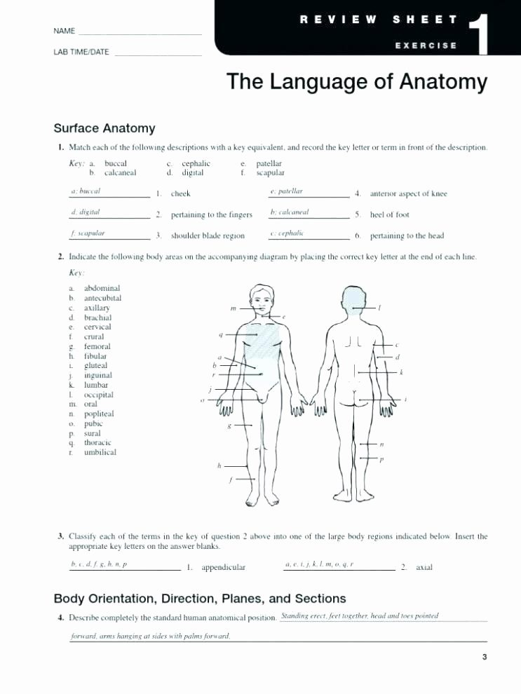 Free Printable Anatomy Worksheets Muscular System Coloring Worksheet Human Body Worksheets and