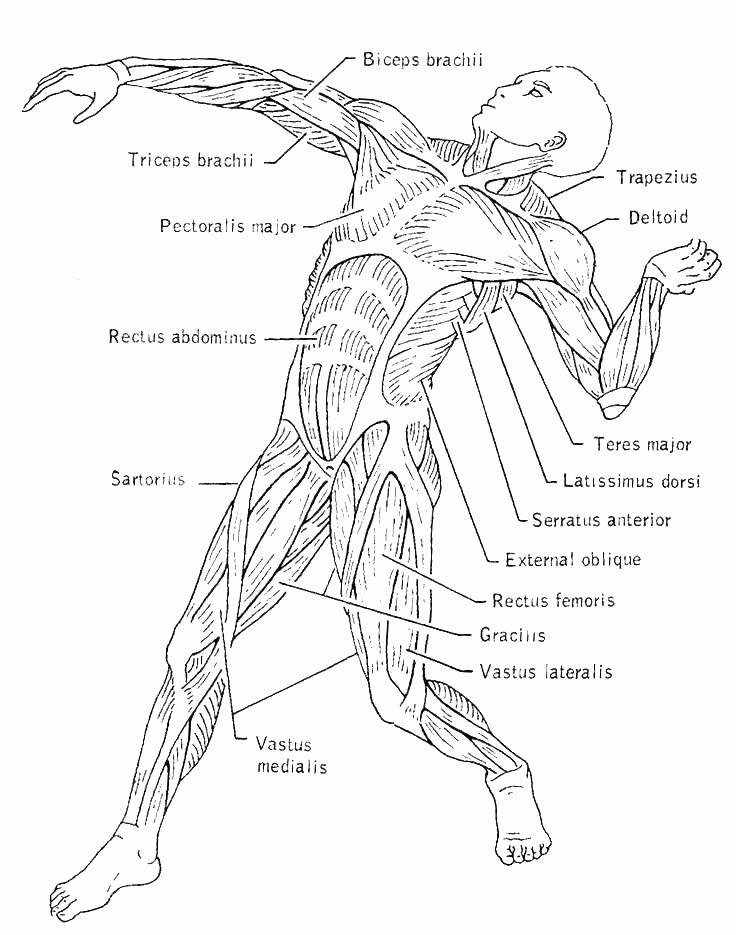 Free Printable Human Anatomy Worksheets Free Printable Human Body Coloring Pages – Musicplanetfo