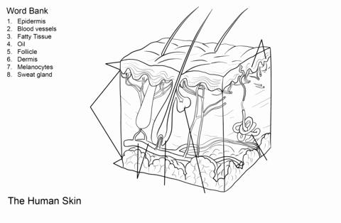 Free Printable Human Anatomy Worksheets Human Skin Anatomy Worksheet Coloring Page From Anatomy