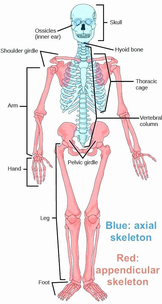 Free Printable Human Anatomy Worksheets Skeleton Body Parts Printable the and Its Blog