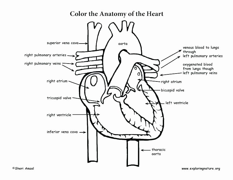 Heart Coloring Worksheet Body Systems Coloring Pages – Tanabana