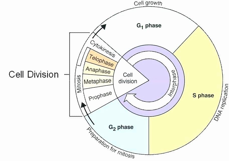 Heart Diagram Worksheet Blank Cell Cycle Diagram Blank Worksheet – Vmglobal