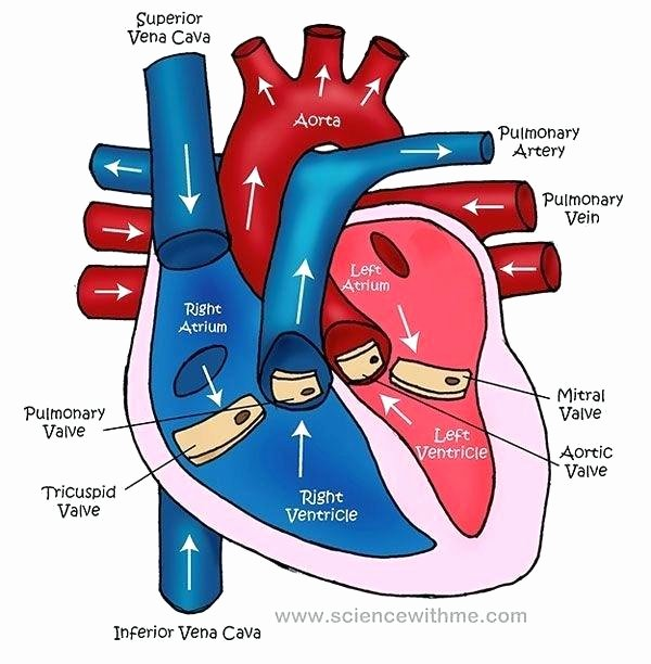 Heart Diagram Worksheet Blank Circulatory System Labeling Worksheets – Morningknits