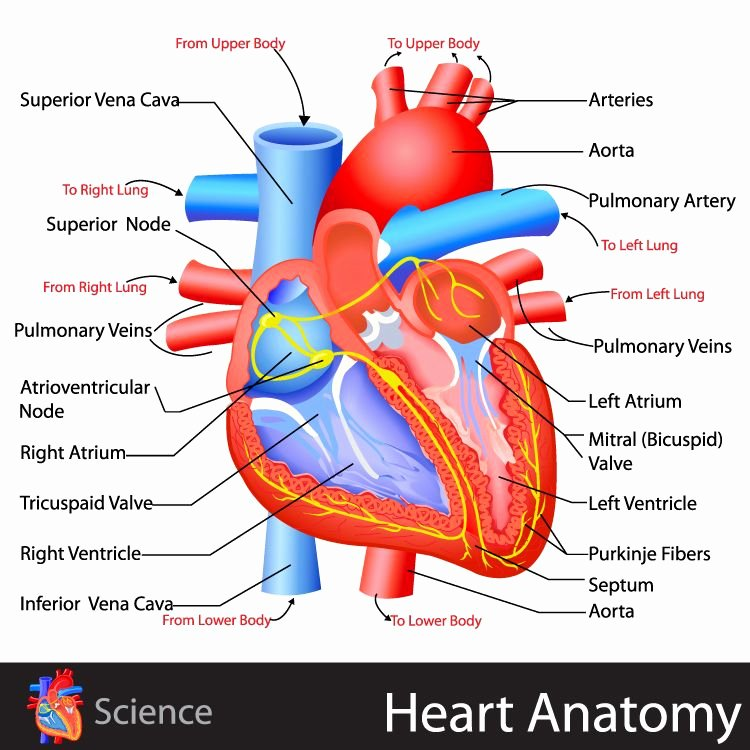 Heart Diagram Worksheet Blank Heart Anatomy Click for the Free Study Guide On the