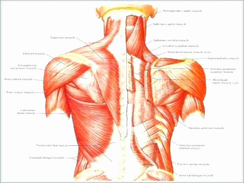 Human Anatomy Worksheets for College Muscle Fill In the Blank Worksheets