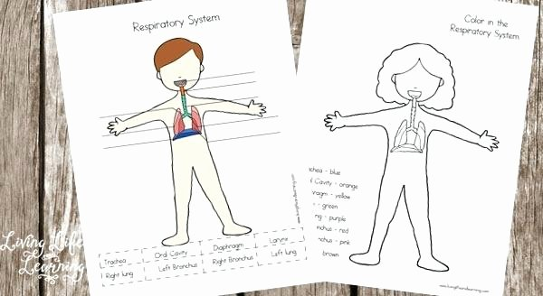 Human Body for Kids Worksheets Free Respiratory System Worksheets