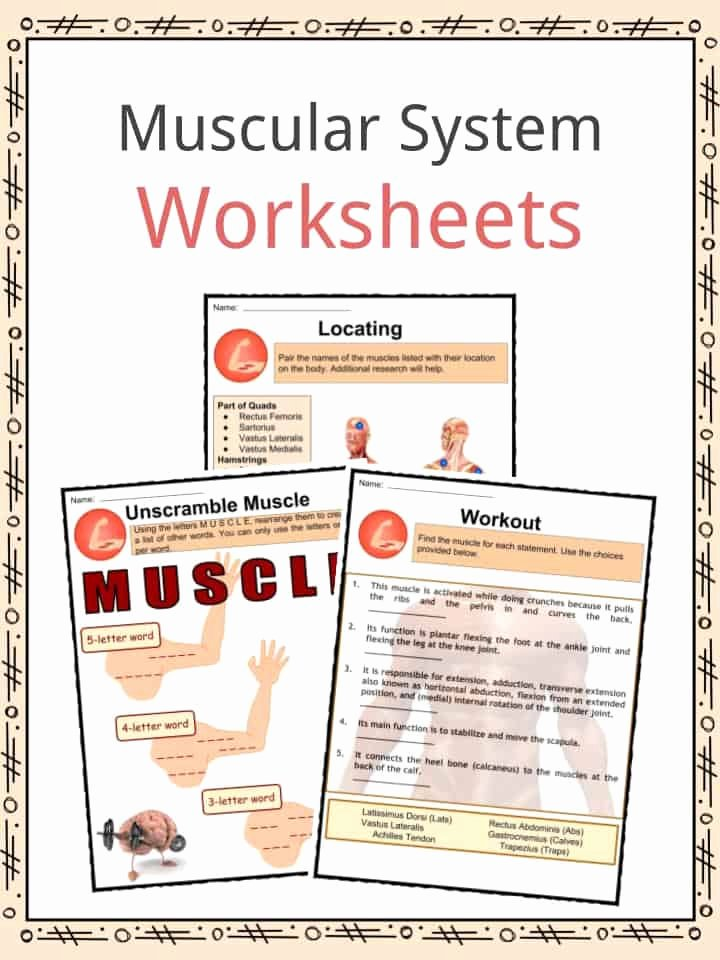 Human Body for Kids Worksheets Muscular System Facts Worksheets Types & Importance for Kids