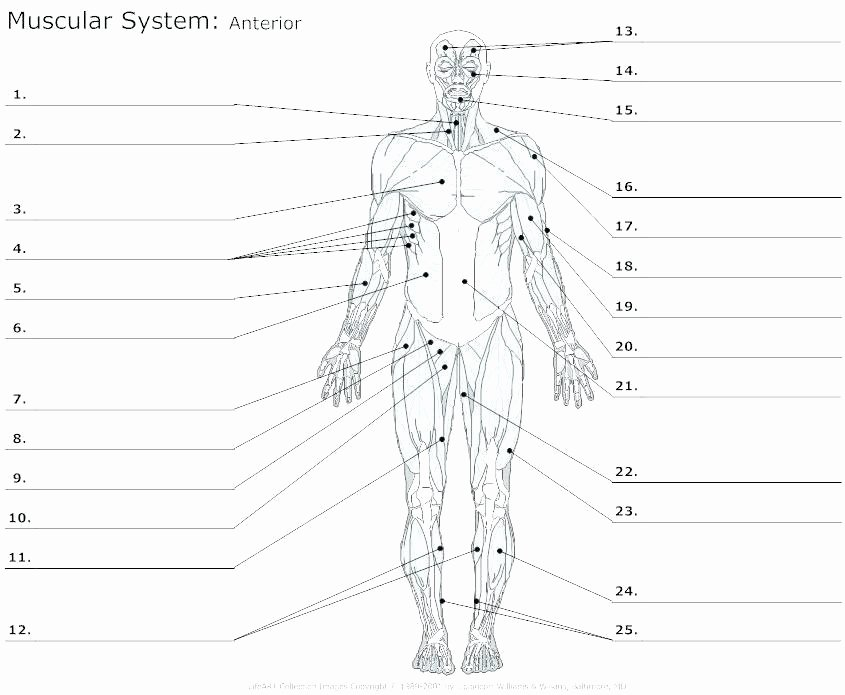Human Body Labeling Worksheets Free Anatomy Worksheets for College
