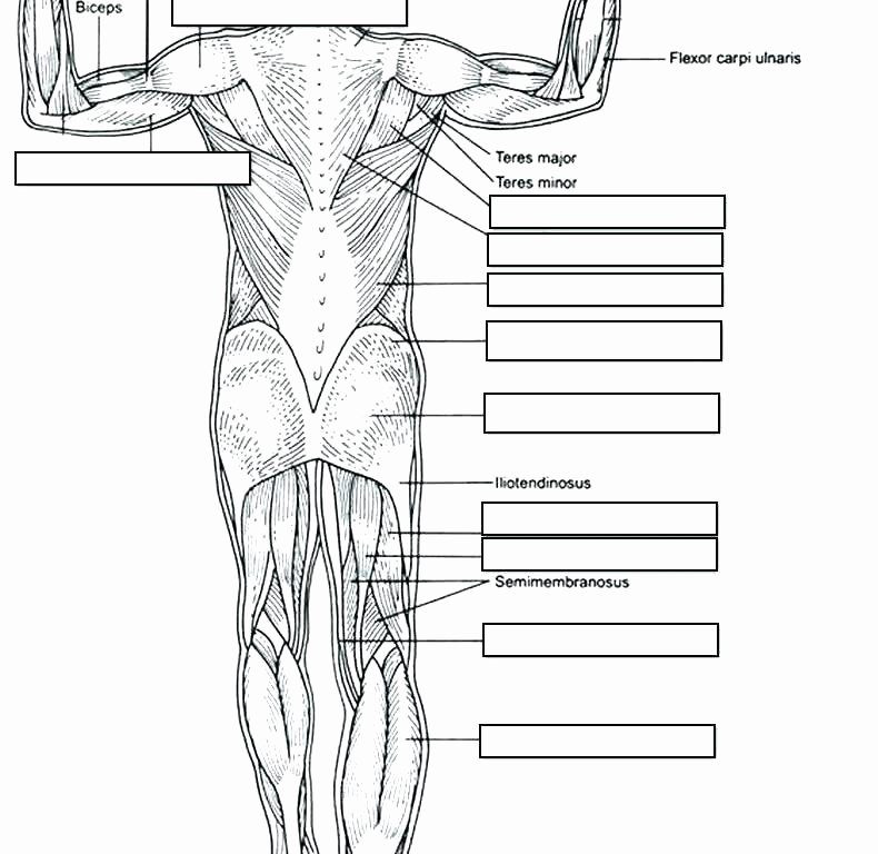 Human Body Labeling Worksheets Muscle Fill In the Blank Worksheets