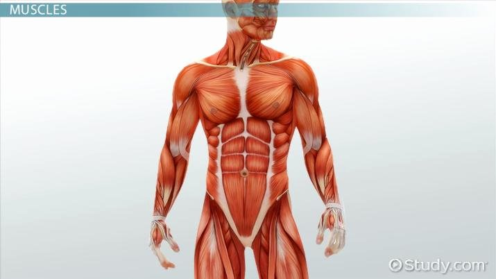 Human Body Systems Matching Worksheet Medical Specialists Of the Muscular System Video & Lesson