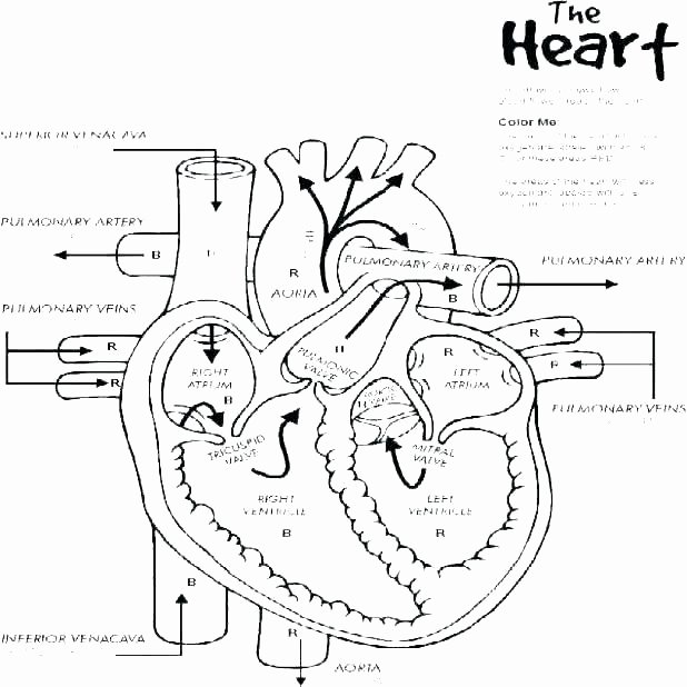 Human Heart Coloring Worksheet Anatomy Coloring Page – Schoolofvalues
