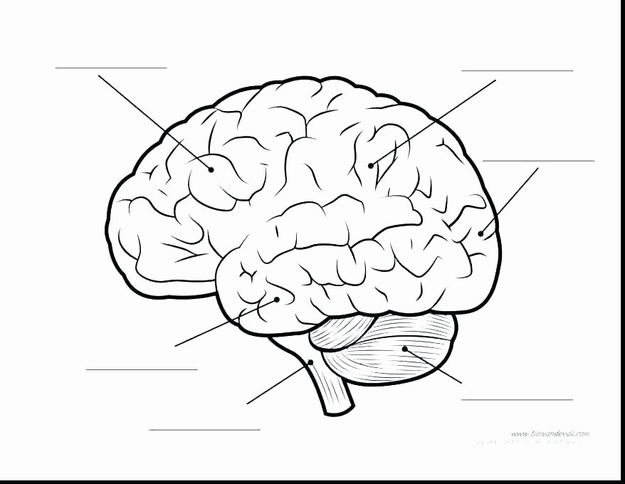 Label Skin Diagram Worksheet Brain Coloring and Labeling – Highfiveholidays