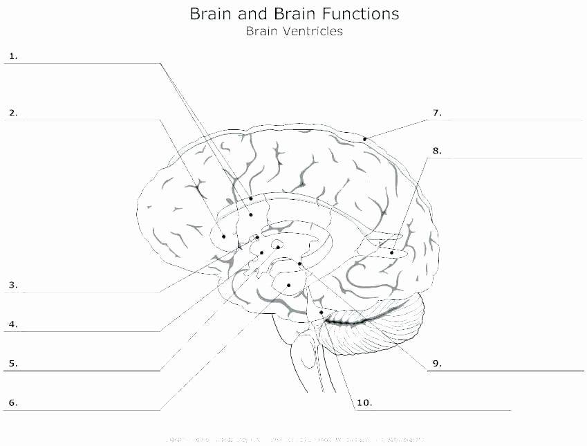 Label Skin Diagram Worksheet Label Parts Of the Brain Worksheets – Slaterengineering