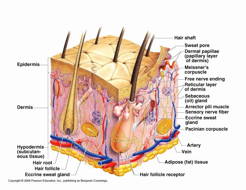 Label Skin Diagram Worksheet Peptidi I Mezoterapija Bez Igle Kozmetika