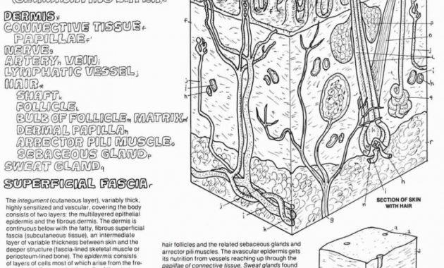 Label Skin Diagram Worksheet Skin Anatomy Diagram Worksheet Skin Diagram Anatomy – Skin