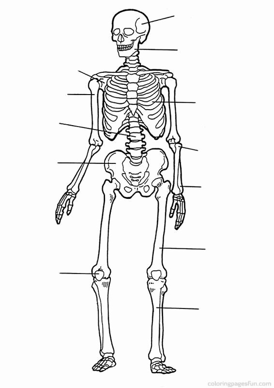 Muscle Diagram Worksheets 18 Free Anatomy Coloring Pages Printable Blue History