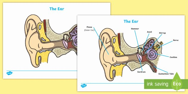 t t 3612 ear diagram and labelling activity sheet ver 1