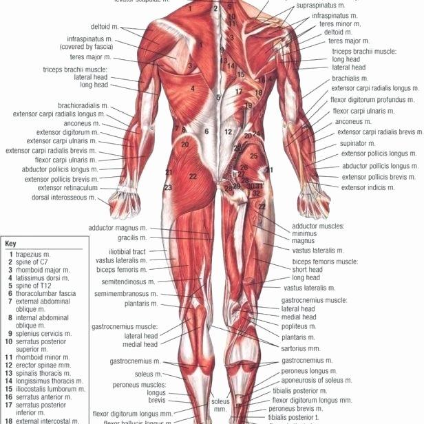 Muscle Diagram Worksheets Ks Muscle M – Meta Morphoz