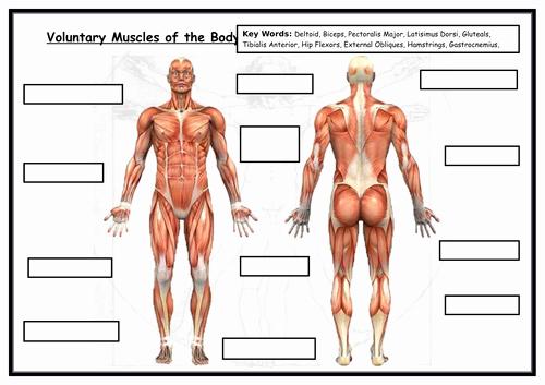 Muscle Diagram Worksheets Muscle Diagram Quiz