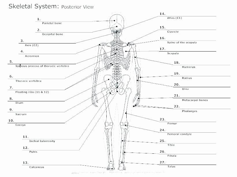 Muscle Diagram Worksheets Skeleton Printable Worksheets Human Halloween Anatomy Body