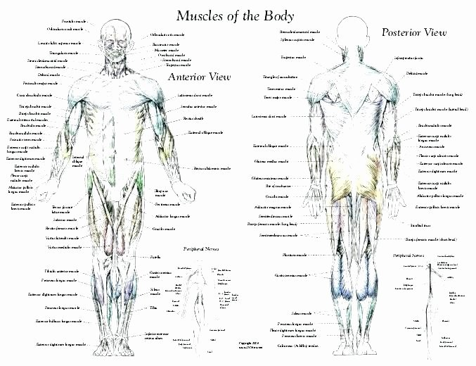 Printable Anatomy Labeling Worksheets Inspirational organs Of the Body Worksheets – Petpage