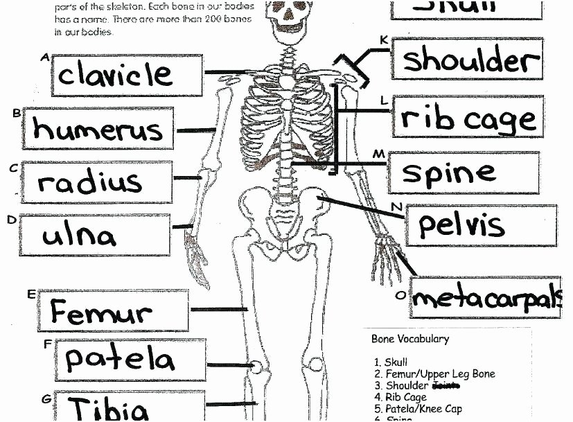 Printable Anatomy Labeling Worksheets Luxury Skeleton Parts Printable Human Anatomy and Physiology