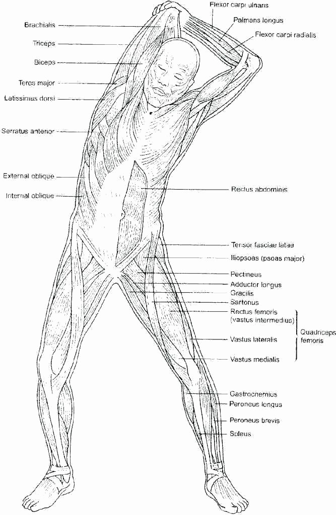 printable anatomy labeling worksheets muscle elegant human skeletal system with answers