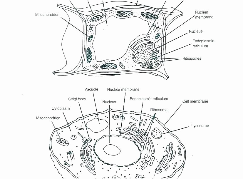 Printable Animal Cell Diagram Coloring Animal Cell Coloring Pages