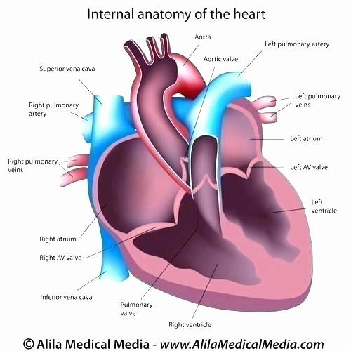 Printable Heart Diagram Circulatory System Printables – Koshi Afo