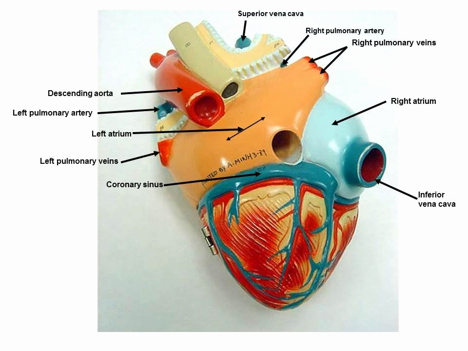 Printable Heart Diagram Heart Model Diagram Wiring Diagrams Rock