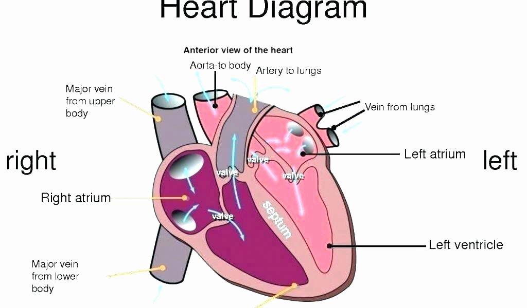 Printable Heart Diagram Human Heart Worksheets