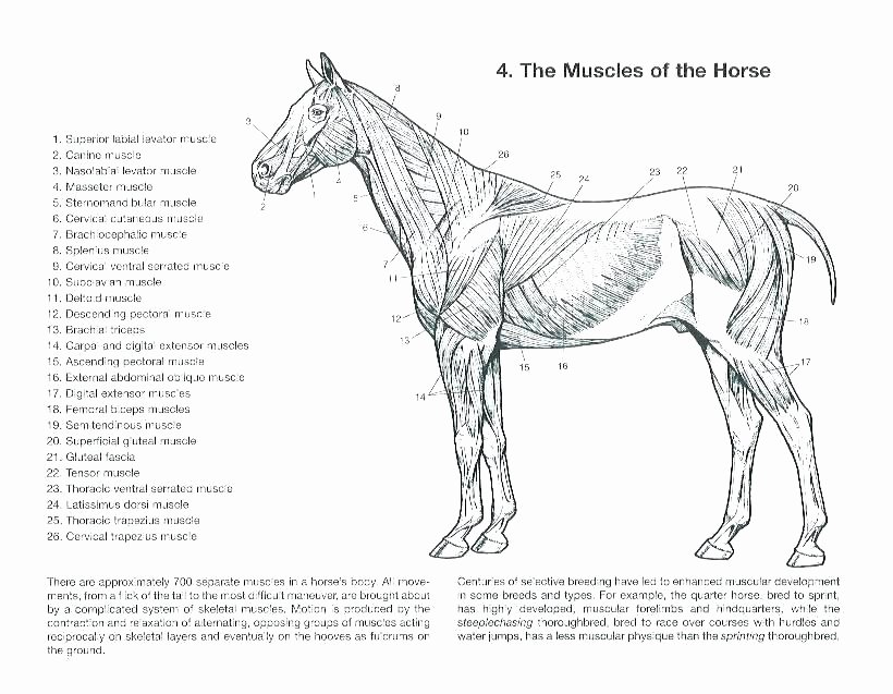 Printable Horse Anatomy Worksheets Free Printable Anatomy Coloring Pages – Sreepeetham