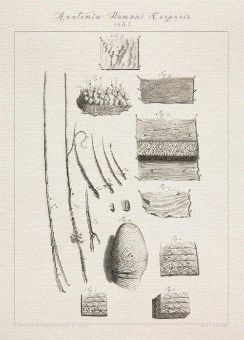 Printable Muscle Diagram Human Anatomy Fingerprint Epidermis Fur Print Sra3 12x18 Conqueror Laid Paper